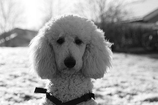 Dog, Poodle, White, Animal, Pet