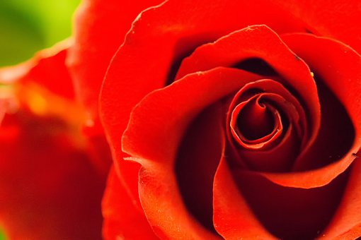 Rose, Red, Love, Romance, Blossom, Bloom, Plant