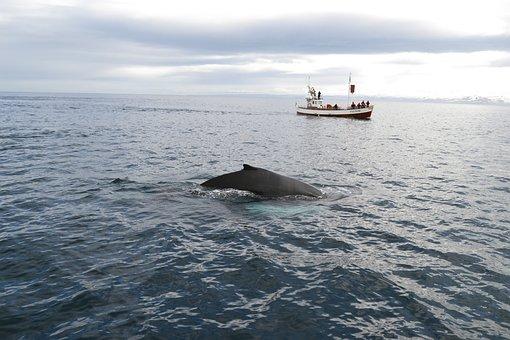 Iceland, Kit, Whale Watching, Sea, Humpback, Ocean