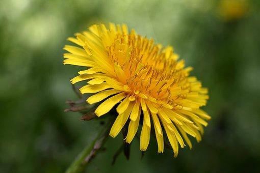 Dandelion, Dandelions, Flower, Nature, Spring, Bloom