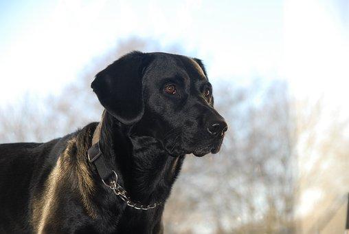 Animals, Pets, Dogs, Black Dogs, Springador