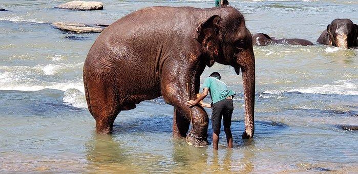 Elephants, Bathing, Sri Lanka