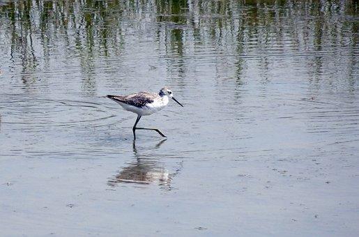 Bird, Marsh Sandpiper, Tringa Stagnatilis, Wader, Fauna