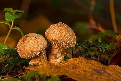 Mushroom, Bovist, Mushroom Dust, Umbrinum, Forest Floor