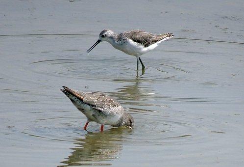 Bird, Marsh Sandpiper, Tringa Stagnatilis, Wader