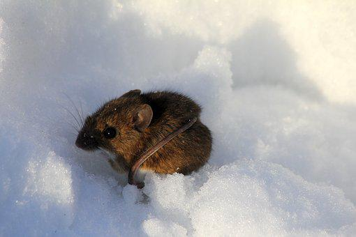 Winter, Mouse, Snow, Nature, Wildlife, Animal, Mammal