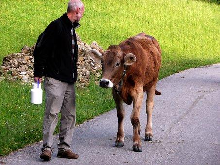 Allgäu, Cow, Young Cattle, Encounter, Human-animal