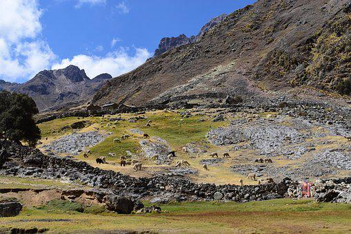Alpacas, Andes, Peru, Mammals, Nature