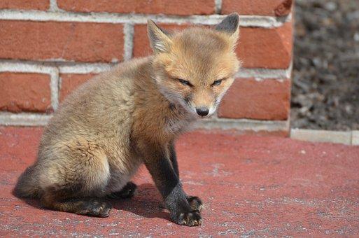 Fox, Kits, Family, Brothers, Animal, Love, Adorable