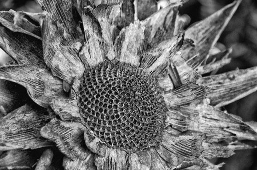 Black And White, Protea, Mood, Decay, Atmosphere, Plant