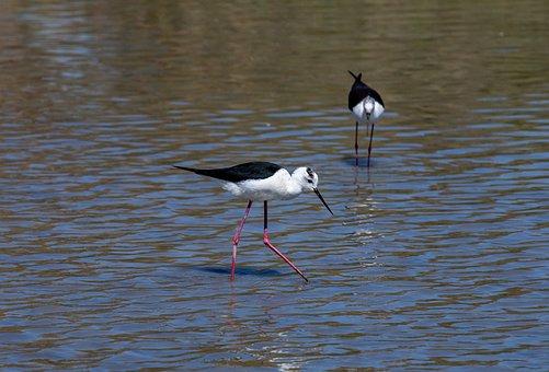 Black-winged Stilt, Birds, Wader
