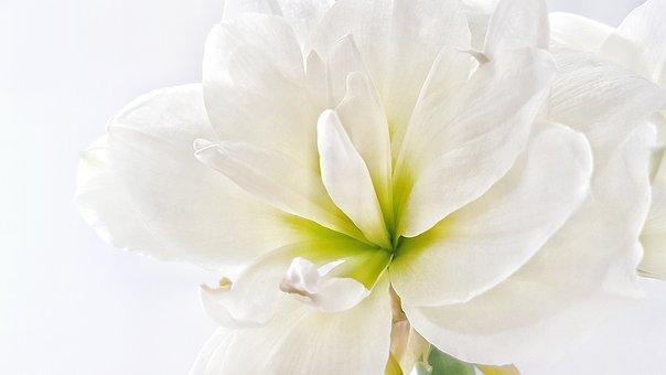 Hippeastrum, Flower, White, Background, Bud, Plant