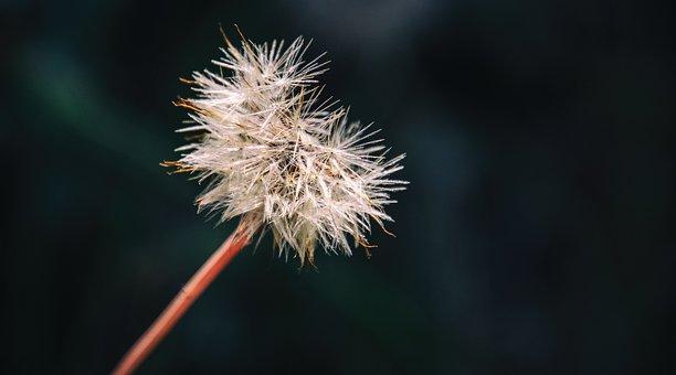 Dandelion, Dandelion Clock, Plant, Clock, Flower
