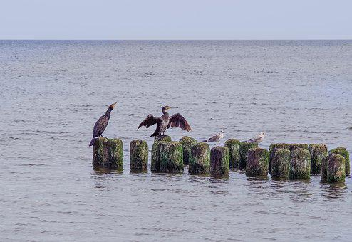 Cormorants On The Sea, Cormorant, Breakwater, Sea