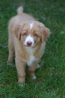 Puppy, Dog, Cute, Wonderful, Retriever
