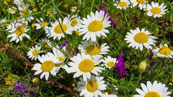 Daisy, Nature, Flowers, Spring, Daisies, White, Yellow