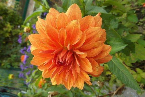 Dalia, Flower, Orange, Petals, Garden, Flora