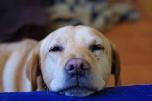 Labrador, Dog, Thoughtful, Snout, Head, Cute, Dear