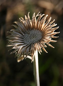 Trockenblume, Autumn, Faded, Petals, Dry