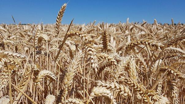 Wheat, Grain, Field, Wheat Field, Cornfield