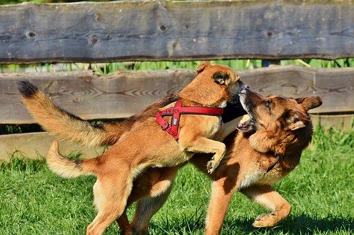 Schäfer Dog, Hybrid, Dog, Animal, Play, Fight, Snout