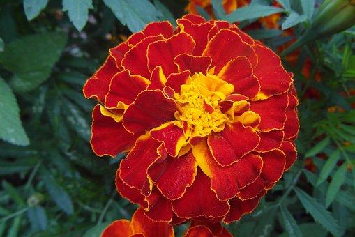Marigold, Flower, Garden, Plant, Orange, Flora