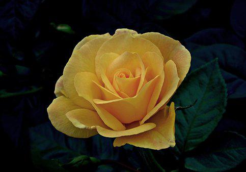 Flower, Rose, Beauty, Noble, Summer, Garden, Nature