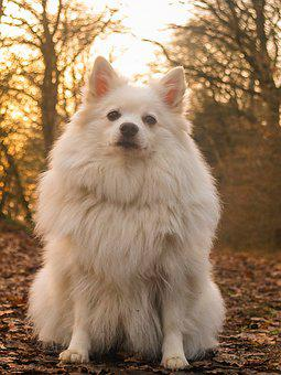 Dog, Spitz, Forest, Cute, Animal, Pet, Puppy, White