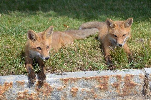 Fox, Kits, Family, Animal, Love, Adorable, Nature, Wild