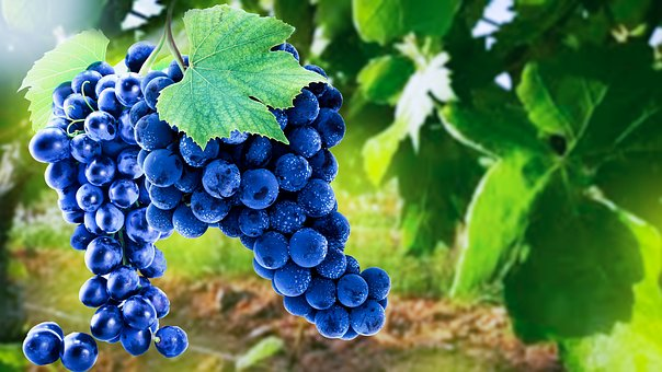 Grapes, Sunbeam, Fruit, Vines, Rebstock, Wine, Fructose