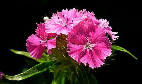 Flower, Gożdzik Stone, Pink, Garden, Nature, Closeup