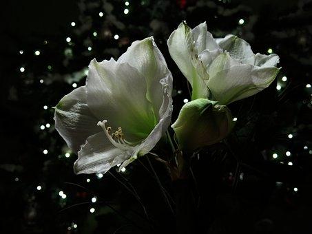 Amaryllis Plant, Hippeastrum Intokasie, Knights Star