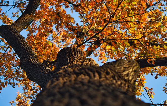 Oak, Autumn, Leaves, Tribe, Oak Leaves, Bright
