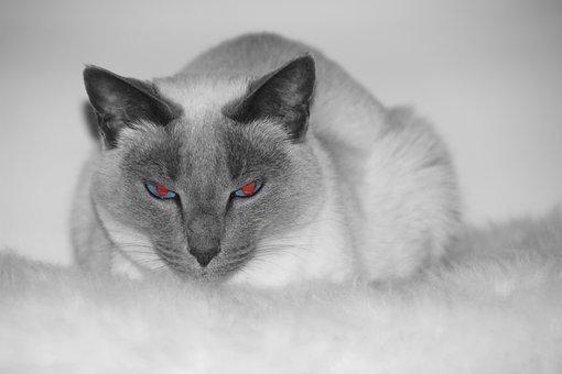 Cat, Siam, Siamese Cat, Mieze, Siamese, Breed Cat