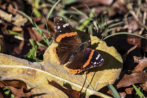 Moth, Brown, Orange, Rust, White, Wildlife, Natural