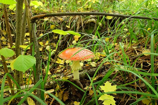 Nature, Forest, Mushroom, Autumn, Amanita