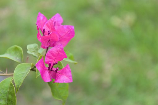Flowers, Pink, Nature, Blossom