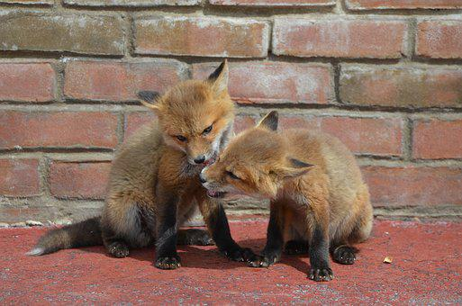 Fox, Kisses, Nibble, Animal, Furry, Family, Nature