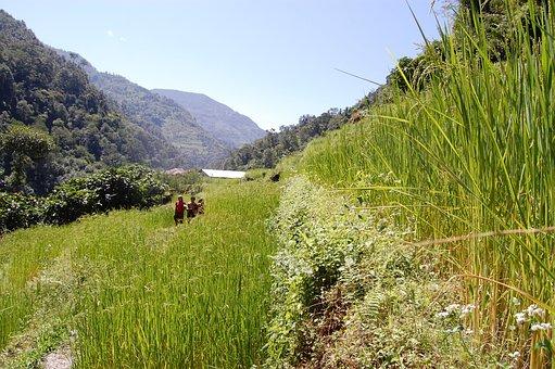 Rice, Nepali, Nepalese, Asian, Grain, Field