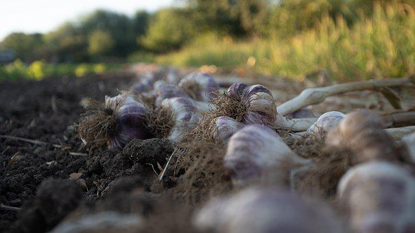 Farm, Onions, Onion, Agriculture, Food, Healthy