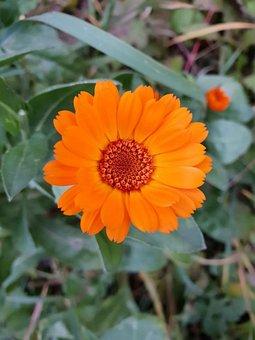 Orange, Flower, Calendula