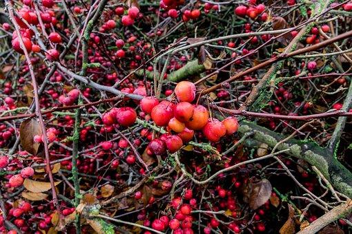 Berries, Plant, Red, Autumn, Close Up, Branch, Bush