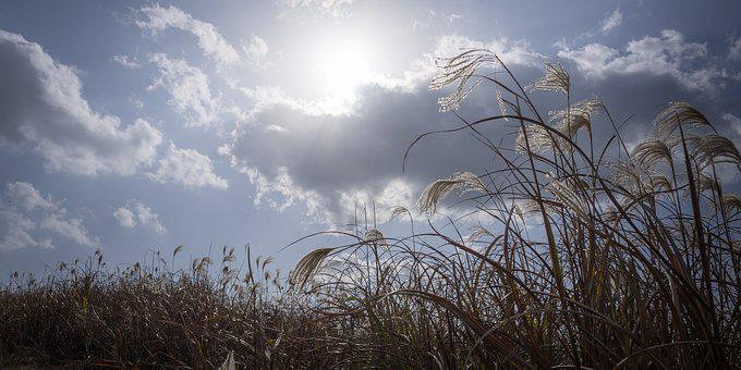 Silver Grass, Autumn, Nature, Reed, Plants, In Autumn