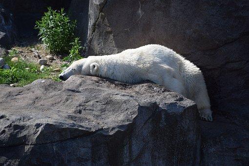 Polar, Bear, Polarbär, Polar Bear, Predator, Mammal