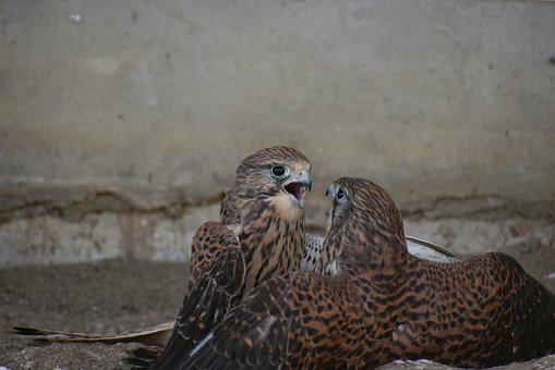 Animal, Bird, Raptor, Falconidae, Kestrel, Quarrel