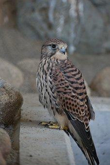 Animal, Bird, Raptor, Falconidae, Kestrel, Wild Animal