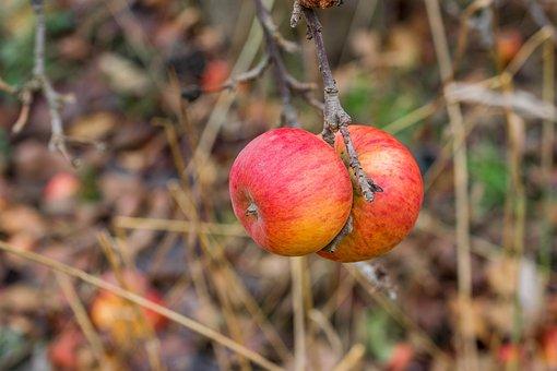 Apple, Close Up, Fruit, Red, Apple Tree, Nature, Ripe