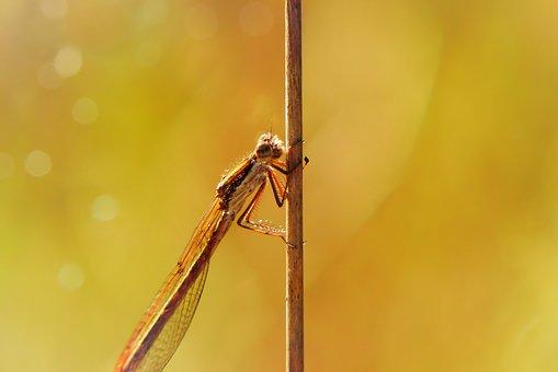 Straszka Total, Dragonflies Równoskrzydłe, Insect