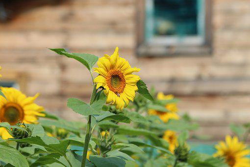 Sunflower, Sunflowers, Plant, Flower, Summer, Yellow