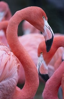 Flamingo, Pink, Bird, Animal, Nature, Tropical, Zoo